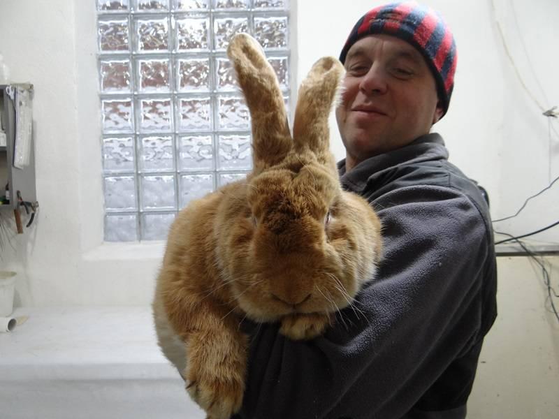 Декоративный кролик: описание породы, уход и содержание