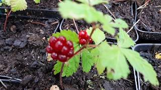 Княженика – сорта, куда  и как посадить, правила ухода и размножения