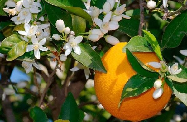 Прививка апельсина в домашних условиях