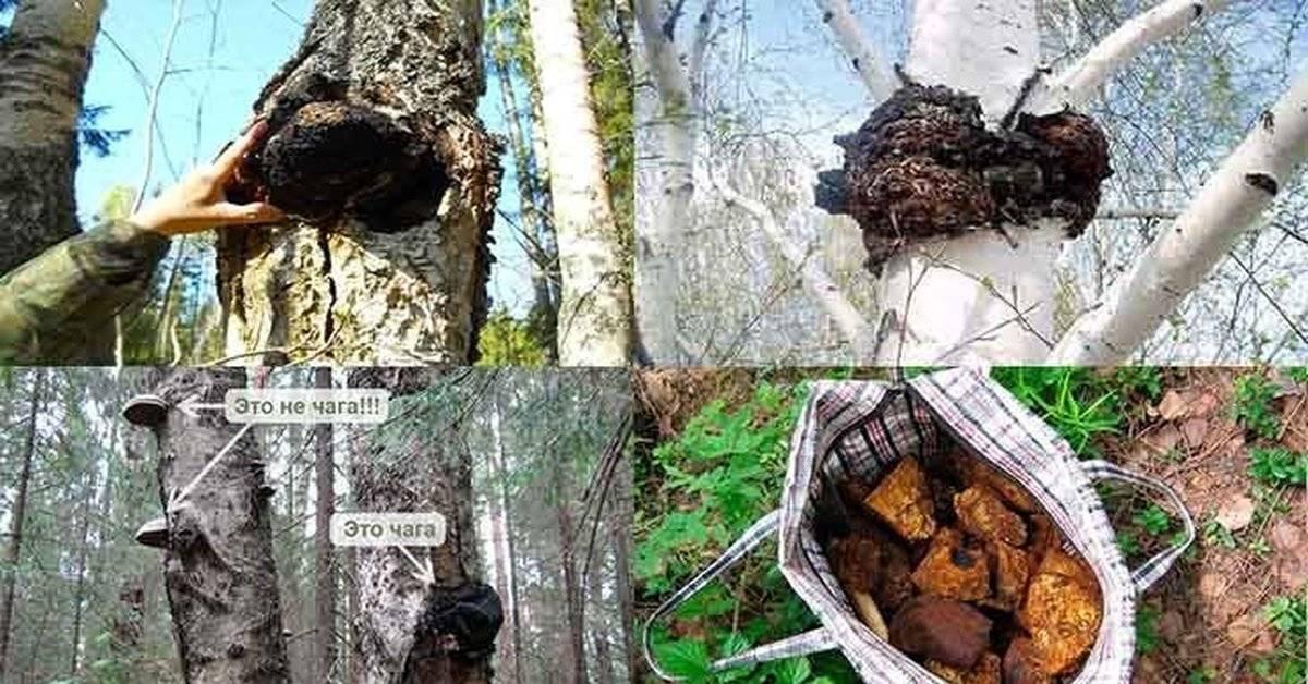 Березовый гриб чага— удивительные целебные свойства