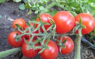 Замечательный сорт томатов — генерал корнилов: детальное описание помидоров и их характеристики