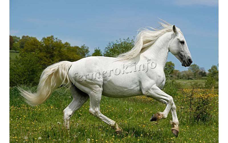 Андалузская порода лошадей: фото и описание, характеристики, история, видео