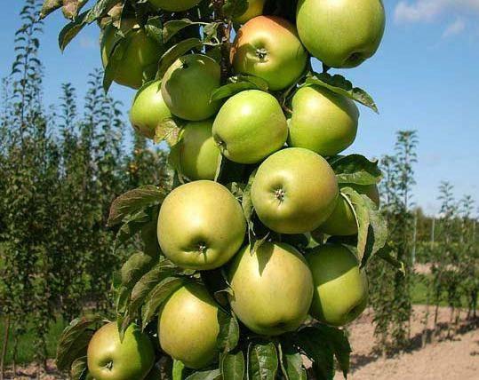 Уход за колоновидными яблонями и грушами, пирамидальными, посадка на видео