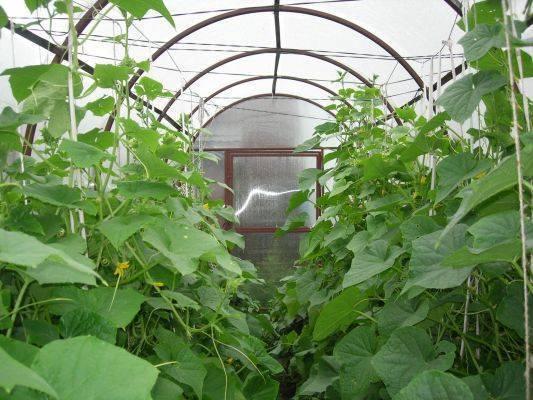 Посадка огурцов в теплицу из поликарбоната: особенности работ