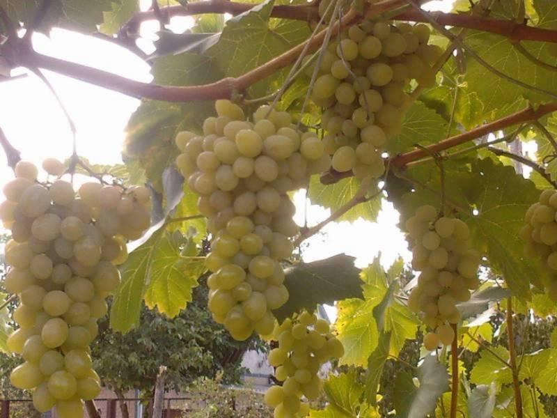 Виноград августин (плевен или феномен): описание сорта, особенности и характеристики, фото selo.guru — интернет портал о сельском хозяйстве