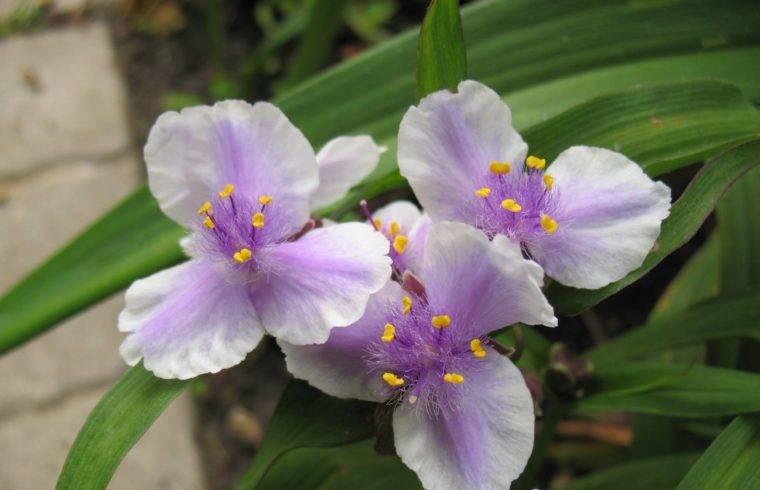 Традесканция садовая - как вырастить красивые цветы на своем участке?