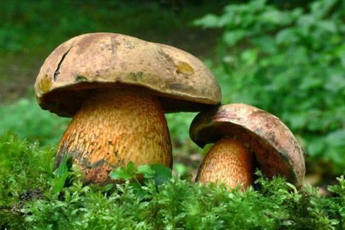Гриб дубовик съедобный или нет. поддубник (boletus lur />фото и описание гриба поддубника   дачная жизнь