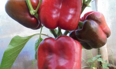 Перец оранжевый бык - характеристика и описание сорта, фото, урожайность, выращивание, отзывы, видео