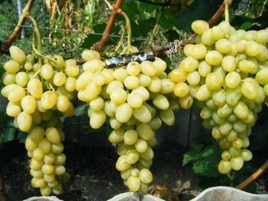 Виноград лора: описание, особенности, уход за сортом, видео и фото