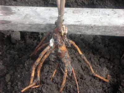 Посадка и уход за пионами в открытом грунте: как правильно их садить