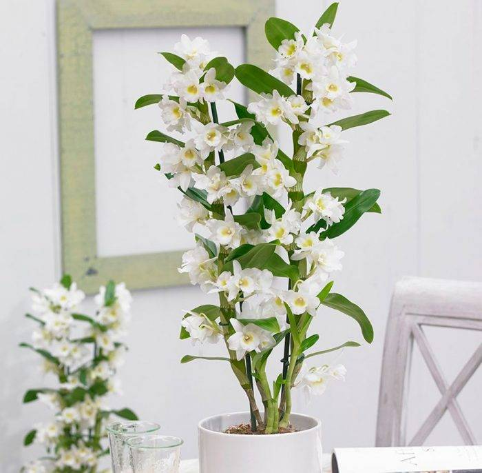 Домашний уход за сортом Орхидеи Дендробиум Нобиле