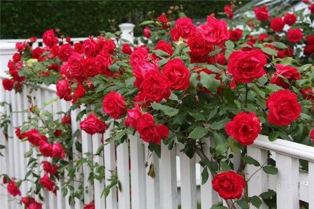 Формирование плетистой розы кустом: как правильно обрезать после цветения