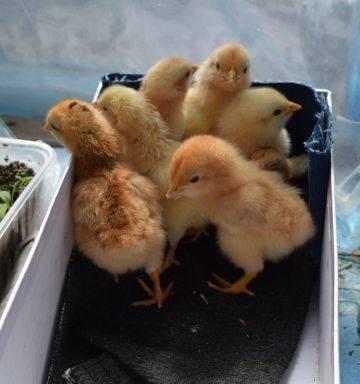 Готовим мешанки для кур и цыплят в домашних условиях