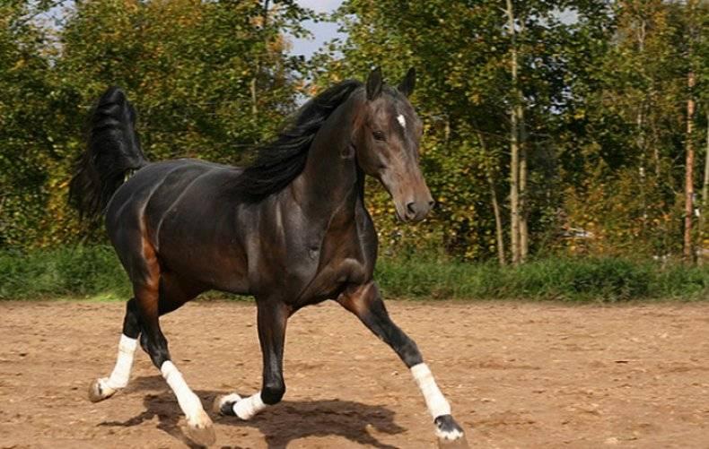 Орловский рысак: фото и описание породы лошадей