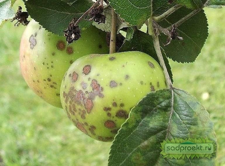 Парша на яблоне: лечение осенью и профилактика весной парша на яблоне: лечение осенью и профилактика весной