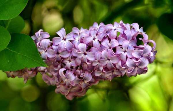 Что делать, если сирень в саду не цветет: разбираем внимательно