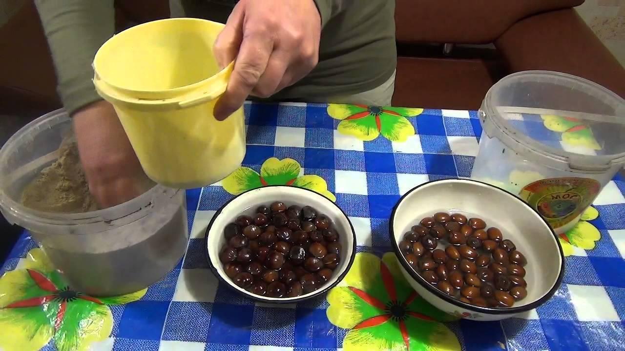 Как вырастить фундук из ореха в домашних условиях стратификация посадка - скороспел