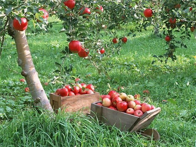 Яблоня розовый жемчуг — красная мякоть, пряный вкус, малиновый аромат