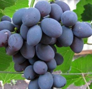 Виноград гала: фото и описание сорта, особенности посадки и ухода selo.guru — интернет портал о сельском хозяйстве