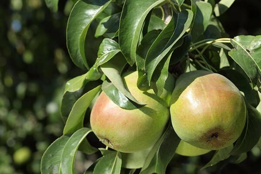 ✅ груша радужная — описание сорта, фото, отзывы садоводов - cvetochki-penza.ru