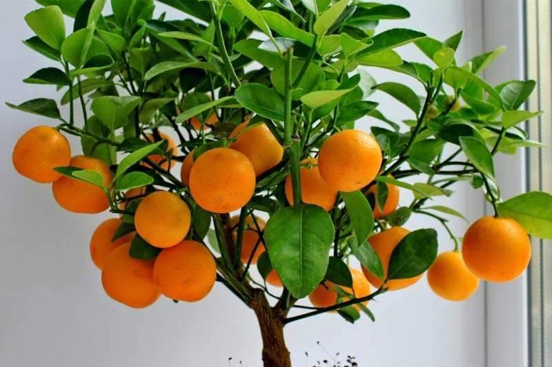 Домашний мандарин из косточки: от а до я. уход и выращивание в домашних условиях. фото — ботаничка.ru