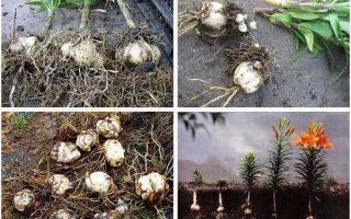 Хранение луковиц лилий зимой в домашних условиях