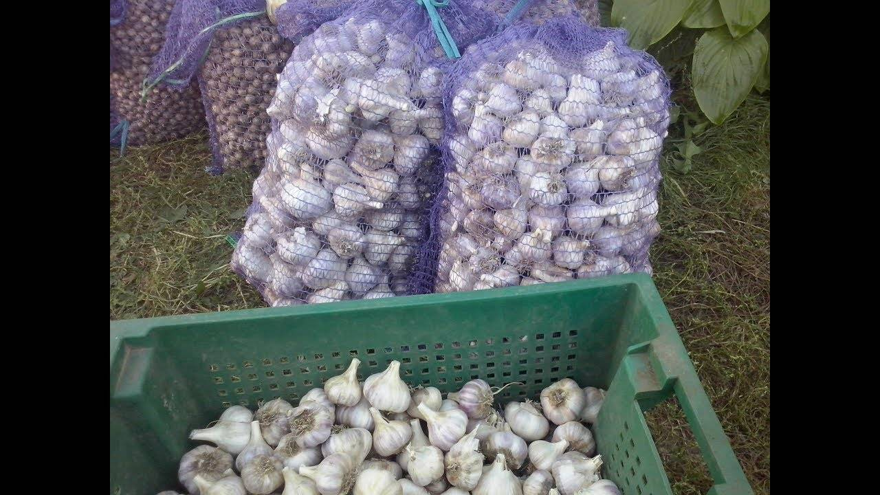 Описание и особенности выращивания чеснока сорта любаша