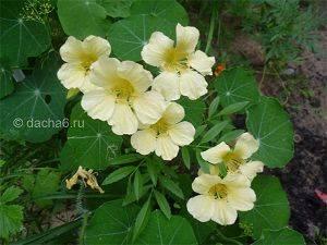 Основные причины почему не цветут нарциссы - дневник садовода flower-lucky.ru