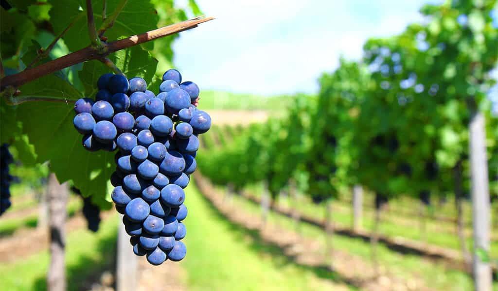 Когда сажать виноград в подмосковье (весной, осенью) - про сорта