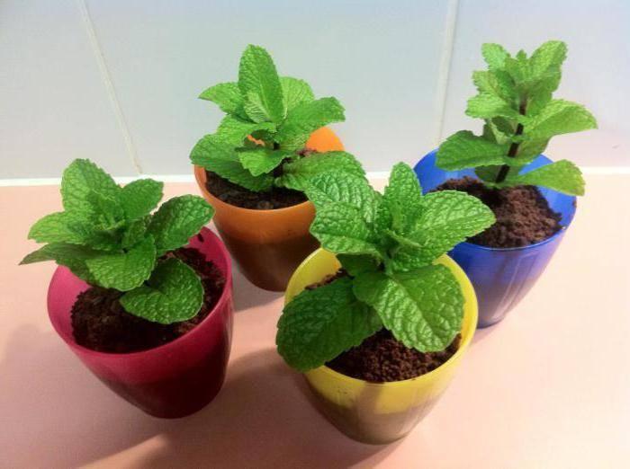 Выращивание мяты на подоконнике в домашних условиях: фото + видео