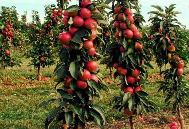 Колоновидные яблони, сорта для сибири, посадка и уход