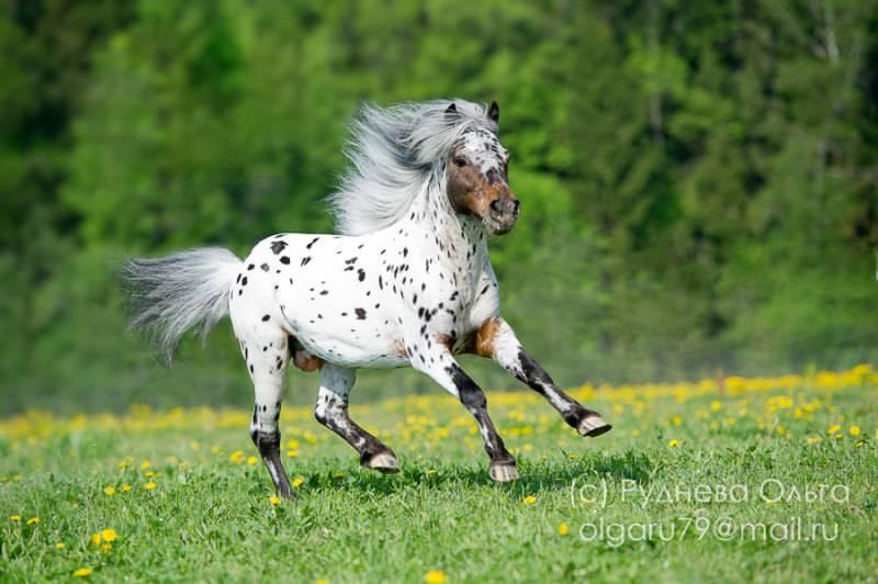 Лошадь аппалуза: описание породы, фото