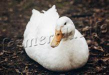 Благоварские утки: характеристика, описание породы с фото и отзывы фермеров и их советы по выращиванию в личном хозяйстве