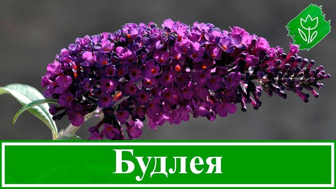 Буддлея. посадка, размножение, уход, сорта, фото на supersadovnik.ru