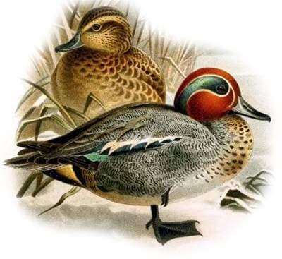 Тайны речной утки чирок: описание вида, среда обитания, период размножения