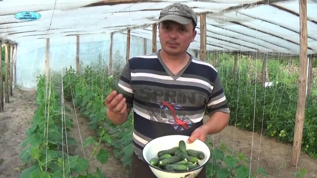 Как избавиться от паутинного клеща в теплице на огурцах народными средствами