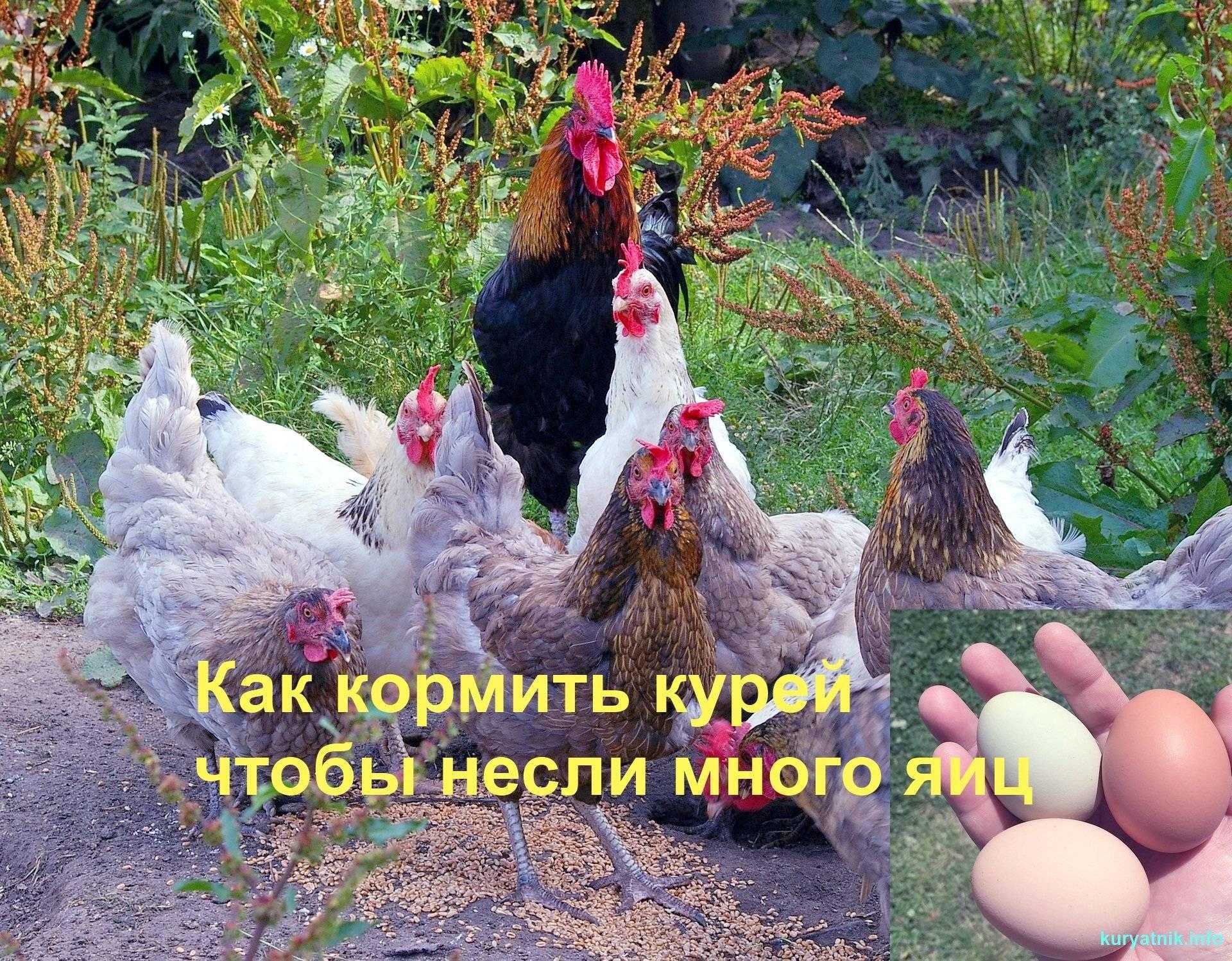 Как и чем кормить кур чтобы несли много яиц