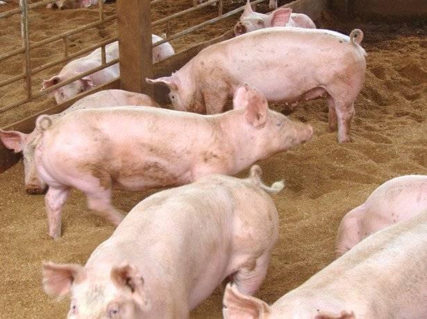 Самый эффективный откорм свиней в домашних условиях на мясо