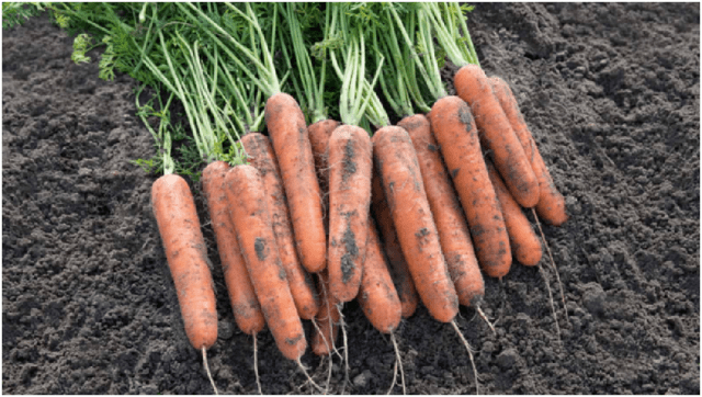 Морковь нантская: фото, описание и характеристика сорта + отзывы