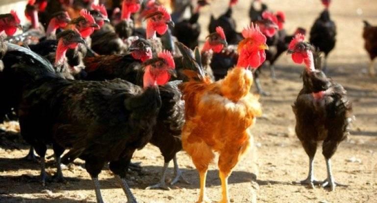 Разведение кур несушек на яйца как бизнес в домашних условиях