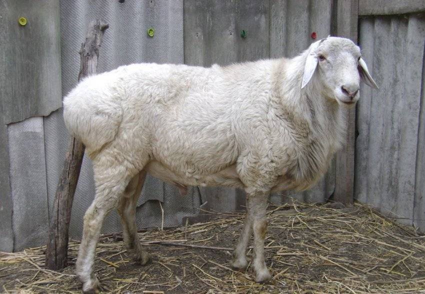Курдючный баран: описание породы, разведение и уход