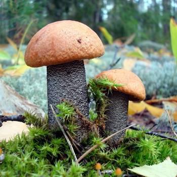 Описание гриба подосиновик