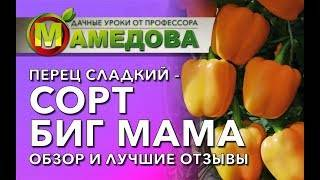 Перец «биг мама»: сладкий и вкусный крупноплодный толстяк