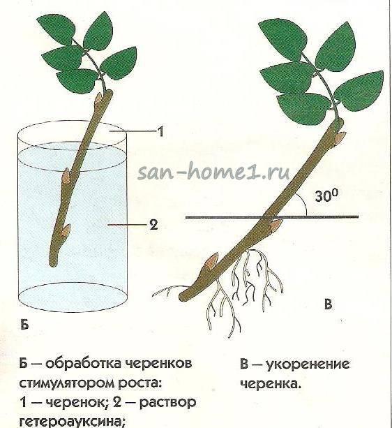 Выращивание розы из черенка осенью в домашних условиях