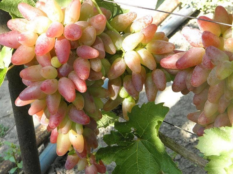 Виноград оригинал: описание сорта, плюсы и минусы, выращивание