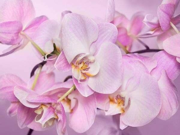 Орхидея фаленопсис бабочка: узнайте, что такое и смотрите фото