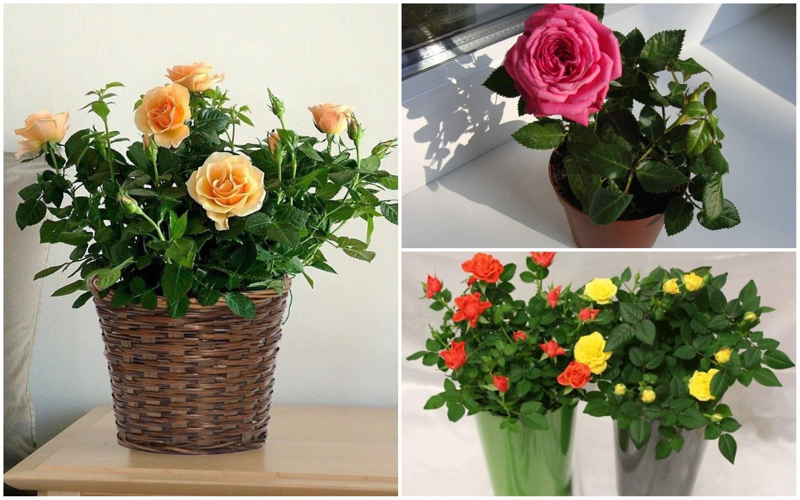 Почему у розы желтеют листья: ответы на все вопросы