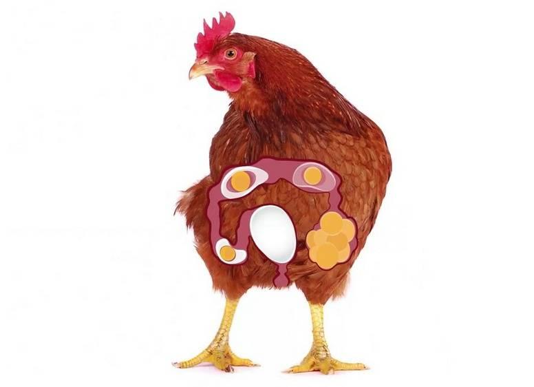 Лечение выпадения яйцевода у кур