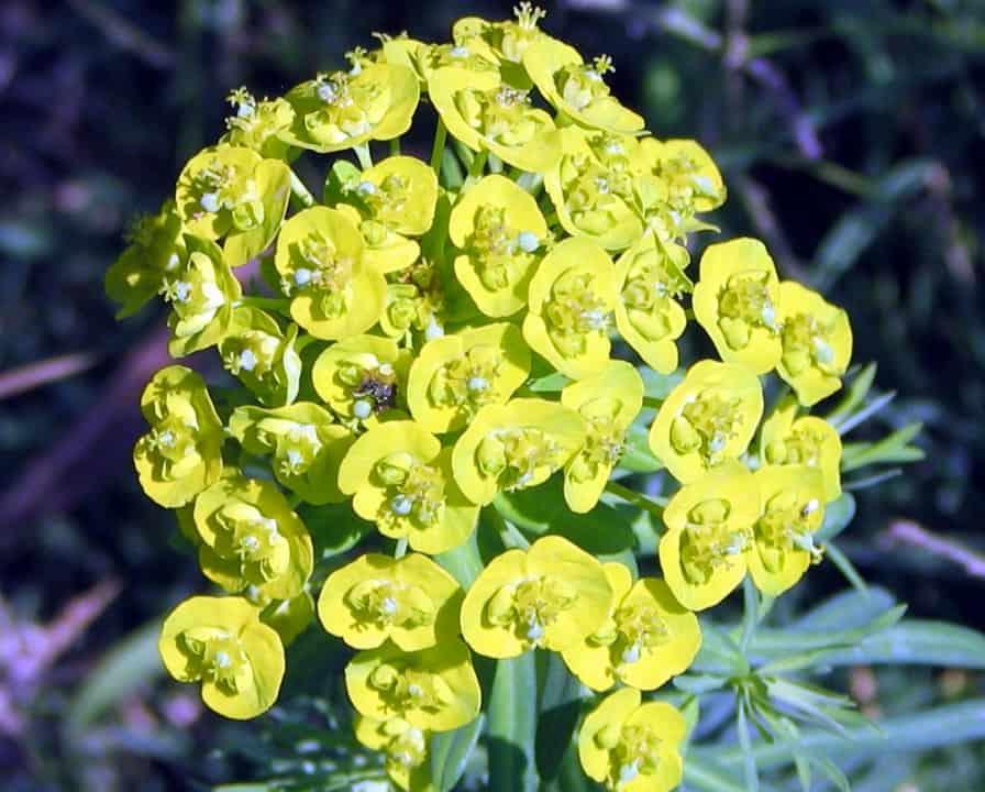 Молочай палласа (мужик корень): лечебные свойства, применение в медицине и фото selo.guru — интернет портал о сельском хозяйстве