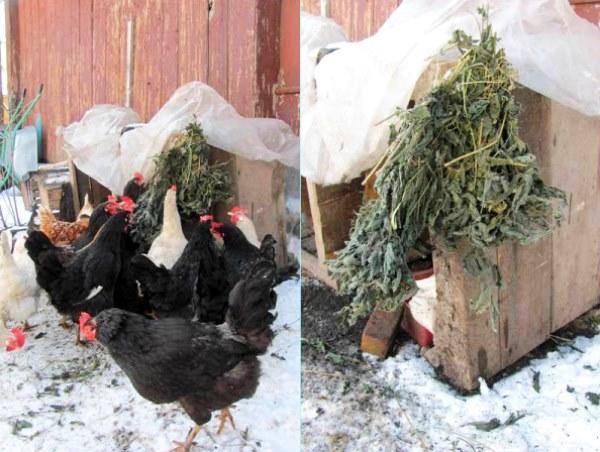 Куры не несутся зимой: почему и чем кормить несушек, чтобы несли много яиц